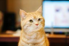 Rode kat met groene ogen die camera op vaag bekijken Stock Foto