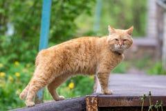 Rode kat met pijnlijke ogen royalty-vrije stock foto