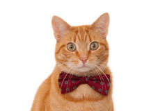 Rode kat met vlinderdas Royalty-vrije Stock Fotografie