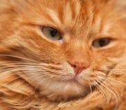 Rode kat, in zachte nadruk Stock Foto