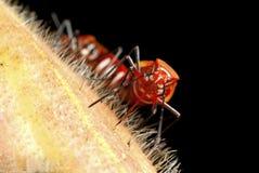 Rode Katoenen Insecten - cingulatus Dysdercus Royalty-vrije Stock Afbeelding