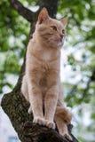 Rode kattenzitting op een boom in de lentedag Stock Afbeeldingen