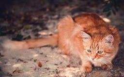 Rode kattenzitting op een zandig strand Royalty-vrije Stock Afbeelding