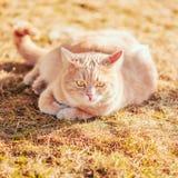 Rode kattenzitting op groen de lentegras Stock Foto