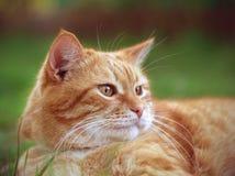 Rode kattenzitting op het gras Stock Foto's