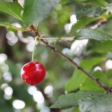 Rode kers op de boom stock afbeeldingen