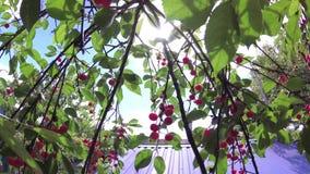 Rode kers op een boom voor de zon stock videobeelden