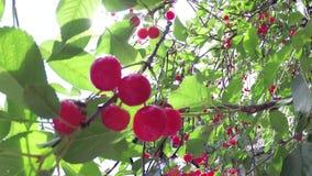 Rode kers op een boom voor de zon stock footage