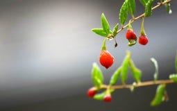 Rode kersen op de tak stock afbeelding
