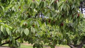 Rode kersen op een boom stock videobeelden