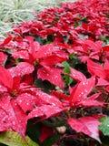 Rode Kerstmisbladeren Royalty-vrije Stock Afbeeldingen