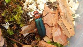 Rode Kever als huisdier | insect stock afbeeldingen