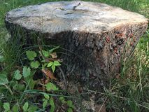 Rode kevers op de boomstomp Stock Foto