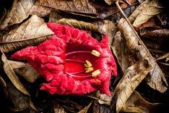 Rode Kigelia-Bloem Stock Foto