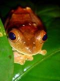 Rode kikker Stock Afbeelding