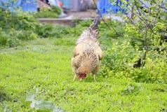 Rode kip die op het gras op het landbouwbedrijf en de bijtende insecten lopen Stock Foto