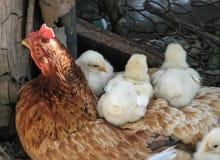 Rode kip en vier kippen stock afbeelding