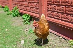 Rode kip in openlucht, Stock Foto's