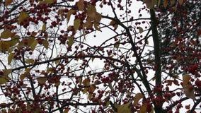 Rode kleine wilde appelen op de bessen van de appelboom van de de herfstwinter stock footage