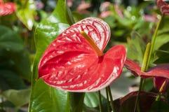 Rode kleurenanthurium in een tuin stock foto's