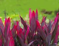 Rode kleurenbladeren Stock Afbeelding