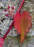Rode Klimop op Grijze Muur Royalty-vrije Stock Foto's