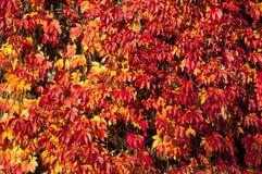 Rode klimopbladeren royalty-vrije stock foto
