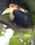 Rode knobbed hornbill, Indonesië, papegaai, toekan, vogel Stock Foto's