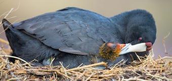 Rode Knobbed Koetzitting op een nest met één kuiken het beschermen stock foto's