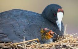 Rode Knobbed Koetzitting op een nest met ??n kuiken het beschermen royalty-vrije stock afbeelding