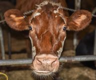 Rode koe stock foto