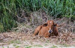 Rode koe op het weiland Royalty-vrije Stock Fotografie