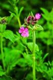 Rode koekoeksbloembloemen stock afbeeldingen
