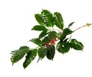 Rode koffiebonen op een tak van koffieboom met bladeren, Rijpe en onrijpe die koffiebonen op witte achtergrond worden geïsoleerd royalty-vrije stock foto