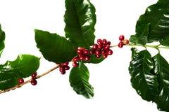 Rode koffiebonen op een tak van koffieboom met bladeren, Rijpe en onrijpe die koffiebonen op witte achtergrond worden geïsoleerd royalty-vrije stock afbeelding