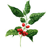 Rode koffiebonen op wit geïsoleerde tak, Stock Fotografie