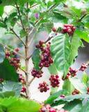 Rode koffieboon op de koffieboom Royalty-vrije Stock Afbeeldingen