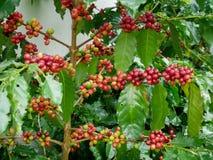 Rode koffiekers op takarabica en robusta boom in koffieaanplanting alvorens te oogsten Royalty-vrije Stock Fotografie
