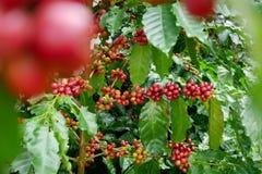 Rode koffiekers op takarabica en robusta boom in koffieaanplanting alvorens te oogsten Stock Afbeelding