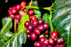 Rode koffiezaden op boomtak royalty-vrije stock afbeelding