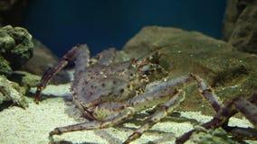 Rode Koning Crab stock videobeelden