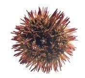 Rode kort - spined geschakeerde variegatu van zeeëgellytechinus Royalty-vrije Stock Foto