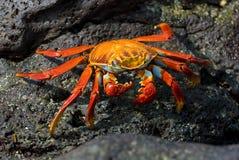 Rode krab op de rots, de Galapagos eilanden stock foto
