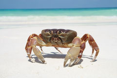 Rode krab op strand Royalty-vrije Stock Foto
