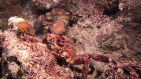 Rode Krab op zoek naar voedsel op de ertsader bij nacht stock footage