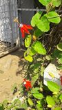 Rode Krishnakamal stock foto's