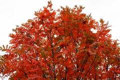 Rode kroon van lijsterbes in de herfst Stock Afbeeldingen