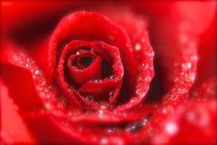 Rode Kuiten royalty-vrije stock foto