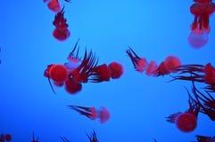 Rode kwallen Stock Afbeeldingen