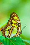 Rode lacewing vlinder Stock Foto's